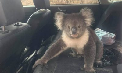 Koala-in-Car-facebook-australie.