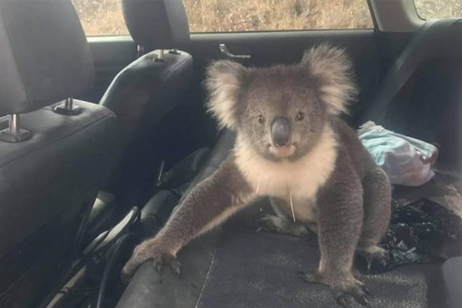 Koala-in-Car-facebook-australie.