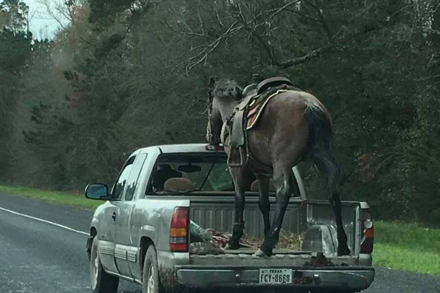 paard-horse-pickup-houston-texas