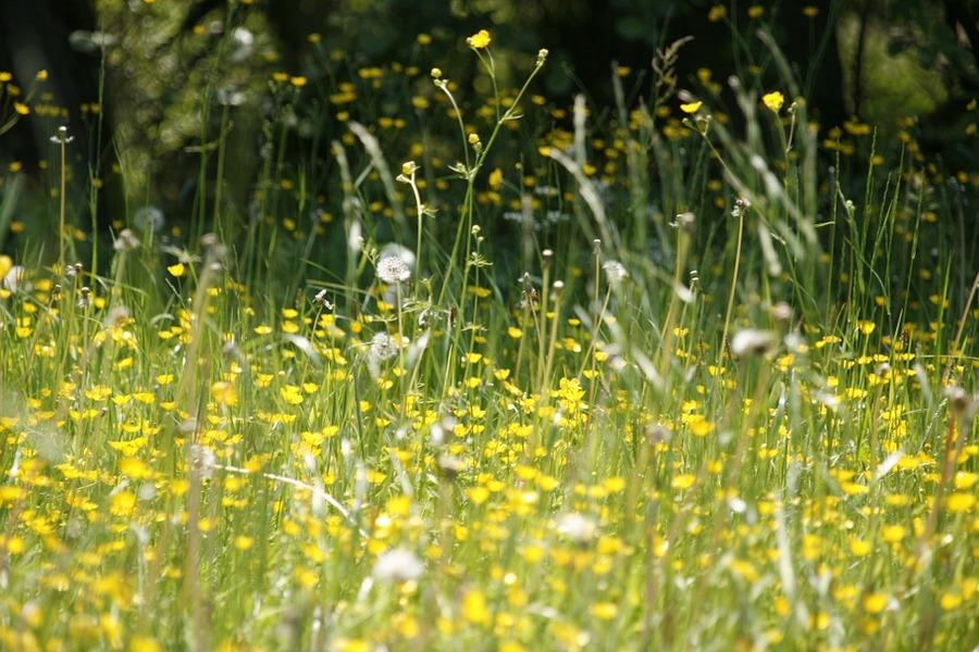 weide-bloemen-hooikoorts-stuifmeel