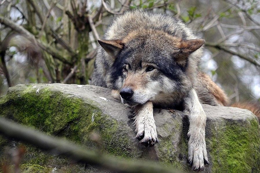 Europese-wolf-nederland
